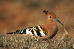 Hoopoe Bird. Beautiful crested hoopoe bird with long curved beak Royalty Free Stock Photos