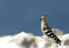 Hoopoe bird Royalty Free Stock Photo