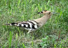 Nice colourful Hoopoe birds royalty free stock photo