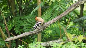 Hoopoe bird with crown feathers perching on a tree branch preening and cleaning. Hoopoe bird with crown feathers or crest perching or sitting on a tree branch stock footage