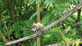 Hoopoe bird with crown feathers perching on a tree branch preening and cleaning. Hoopoe bird with crown feathers or crest perching or sitting on a tree branch stock video
