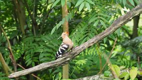 Hoopoe bird with crown feathers perching on a tree branch preening and cleaning. Hoopoe bird with crown feathers or crest perching or sitting on a tree branch stock video footage