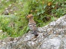 Hoopoe bird Stock Photography