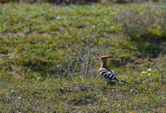 Hoopoe bird in the field on grass Royalty Free Stock Photography