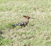 Hoopoe bird in a garden Royalty Free Stock Image