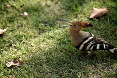The hoopoe bird has a worm Royalty Free Stock Photos