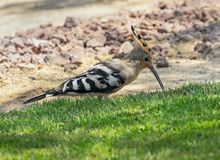 Hoopoe Bird Hunting on a Lawn stock photo