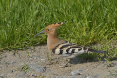 Hoopoe bird in natural habitat (upupa epops) Stock Images