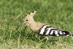Hoopoe bird in natural habitat / Upupa epops Royalty Free Stock Photography