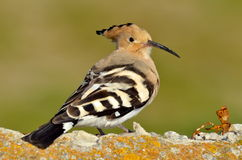 Hoopoe bird in natural habitat (upupa epops) Stock Image