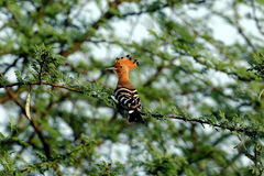Hoopoe. Bird sitting on  a branch and looking Royalty Free Stock Photography