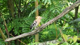 Hoopoe bird spread crown feathers and wings as preening and cleaning itself. On a blurred green background stock video