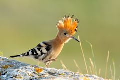 Hoopoe bird (upupa epops) Royalty Free Stock Images