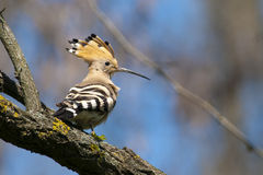 Hoopoe on a branch. Hoopoe (Upupa epops) on a branch Stock Photos