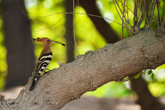 Hoopoe on a branch. Eating insect stock photo