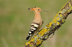 Hoopoe on a branch Royalty Free Stock Photos