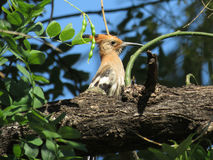 Hoopoe. Royalty Free Stock Images