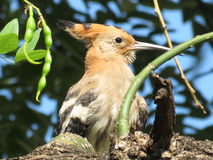 Hoopoe. Stock Images