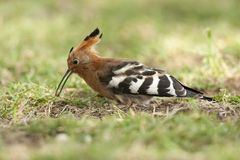 Hoopoe  catching an insect Royalty Free Stock Photography