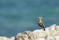Hoopoe in the coast of Bahrain, Busaiteen beach Royalty Free Stock Photo