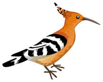 Hoopoe. Colorful bird,  on white, vector illustration Royalty Free Stock Images