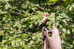 Hoopoe with crest lowered resting on a death trunk Stock Photography