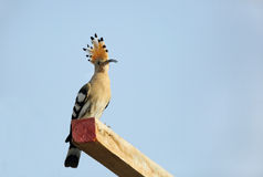 Hoopoe with crown fanned Stock Photos