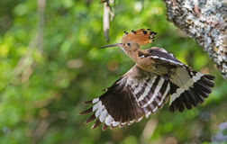 Hoopoe de Euraisan Foto de Stock Royalty Free