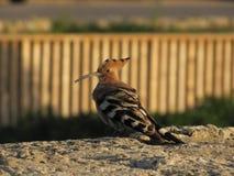 Hoopoe del pájaro Fotografía de archivo libre de regalías