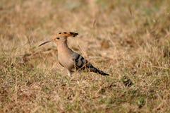 Hoopoe eller Hudhud en färgglad fågel i Bhopal Royaltyfri Foto