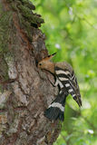 Hoopoe entering nest hole Royalty Free Stock Image