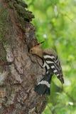 Hoopoe entering nest hole Royalty Free Stock Image