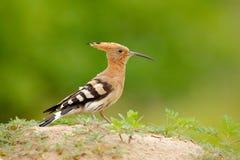 Hoopoe, epops del Upupa, pájaro anaranjado agradable con la colina en el prado del verano, Hungría de la arena de la cresta que s imagen de archivo