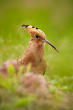 Hoopoe, epops del Upupa, pájaro hermoso que se sienta en la hierba, pájaro con la cresta anaranjada, España fotografía de archivo libre de regalías