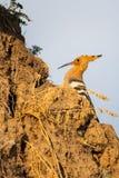 Hoopoe, epops del Upupa, sentándose en la tierra, pájaro con la cresta anaranjada foto de archivo