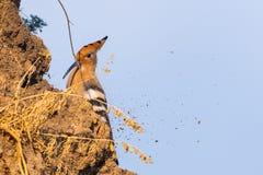 Hoopoe, epops del Upupa, sentándose en la tierra, pájaro con la cresta anaranjada imagen de archivo