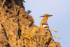 Hoopoe, epops del Upupa, sentándose en la tierra, pájaro con la cresta anaranjada fotos de archivo libres de regalías