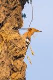 Hoopoe, epops del Upupa, sentándose en la tierra, pájaro con la cresta anaranjada foto de archivo libre de regalías