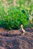 Hoopoe, epops del Upupa, sentándose en la tierra, pájaro con la cresta anaranjada fotografía de archivo libre de regalías