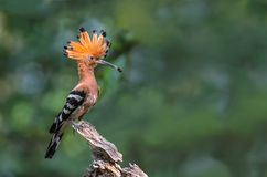 Hoopoe euro-asiático ou epops comuns do Hoopoe ou do Upupa Fotografia de Stock