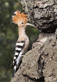 Hoopoe fattening. Hoopoe on the edge of the nest before priming royalty free stock image