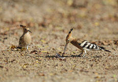 Hoopoe feeding earthwarm Stock Image