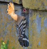 Adult Hoopoe feeding his nestling through the hole in wall stock image
