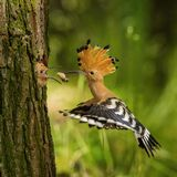 The hoopoe is feeding its chick. Still is flying and putting some insect in its beak. Typical forest environment with green. Background stock images