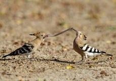 Hoopoe feeding its juvenile with earthworm Stock Photos