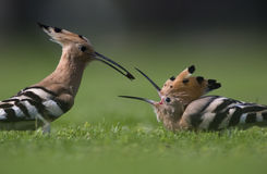 Hoopoe feeding Stock Photos