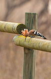 Hoopoe on a fence Royalty Free Stock Images