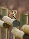 Hoopoe on a fence Royalty Free Stock Photos