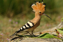 Hoopoe in the field Stock Photos
