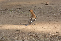 Hoopoe in the Forest Royalty Free Stock Photography